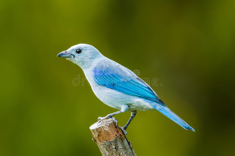 Blauw Gray Tanager stock afbeelding