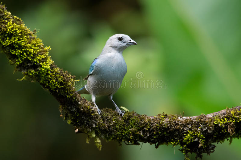 Blauw Gray Tanager royalty-vrije stock foto's
