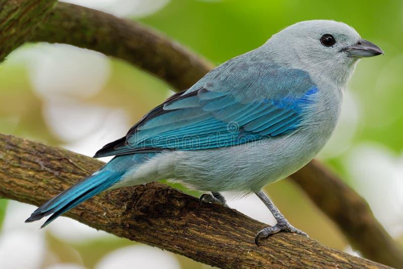 Blauw-grijze episcopus middelgrote Zuidamerikaanse zangvogel van Tanager - Tangara-van de tanagerfamilie, Thraupidae stock fotografie