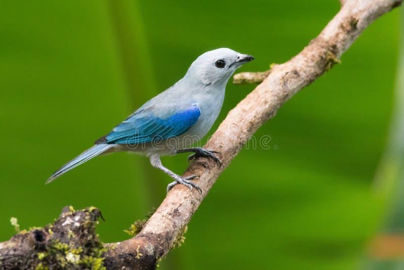 Blauw-grijze Tanager stock fotografie