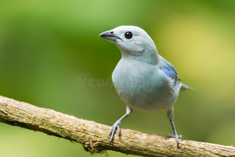 Blauw-grijze Tanager royalty-vrije stock foto
