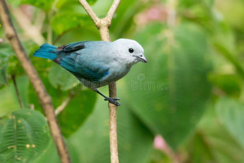 Blauw-grijze Tanager stock foto's