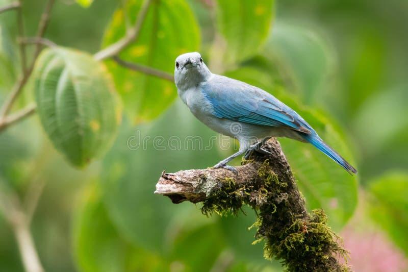Blauw-grijze Tanager stock afbeeldingen