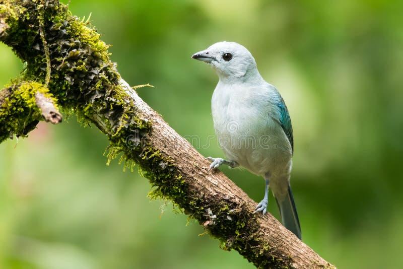 Blauw-grijze Tanager stock foto