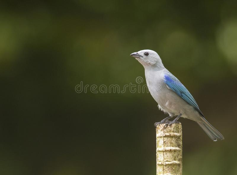Blauw-grijze Tanager in Panama royalty-vrije stock foto's