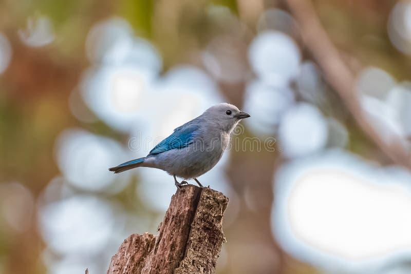 Blauw-grijze Tanager, vogel stock foto