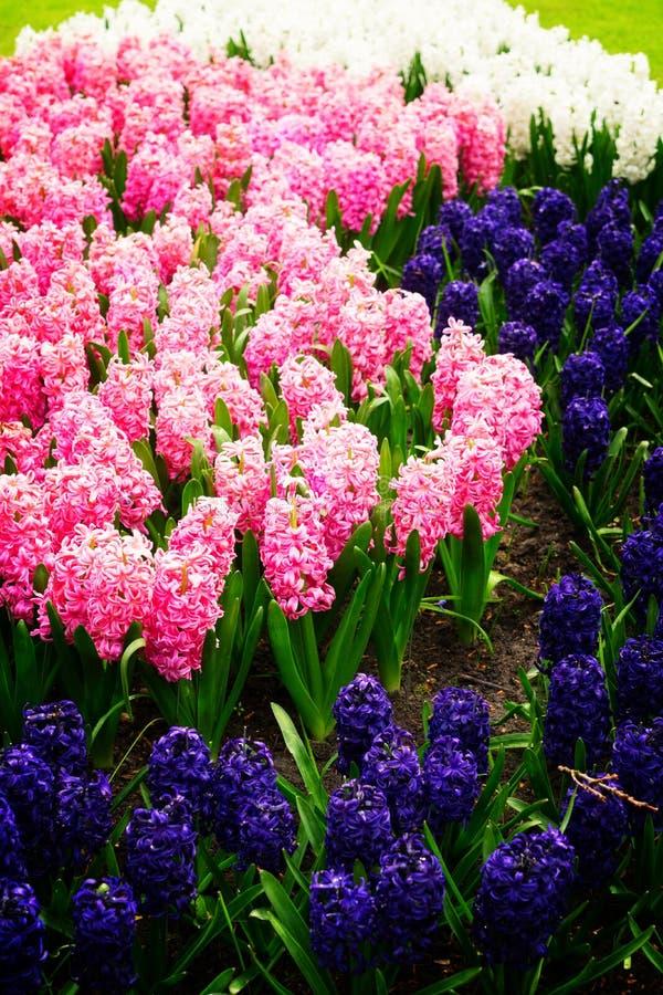 Blauw hyacintbloembed royalty-vrije stock fotografie
