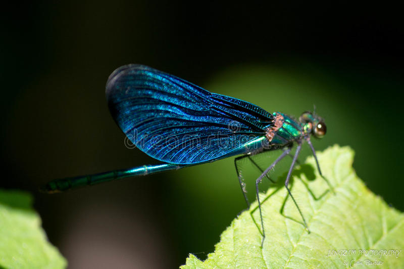 Blauw insect stock fotografie