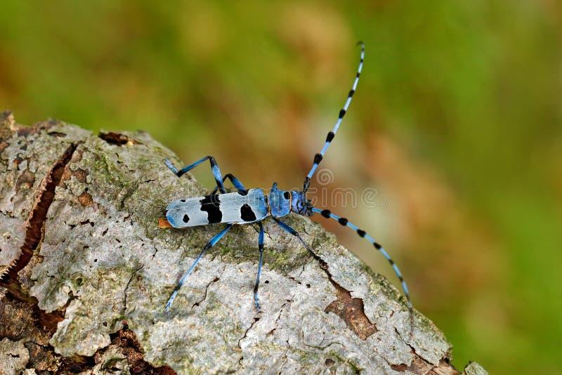 Blauw insect Rosalia Longicorn, Rosalia-alpina, in de aard groene boshabitat, die op de groene lariks, Tsjechische republiek zitt royalty-vrije stock foto