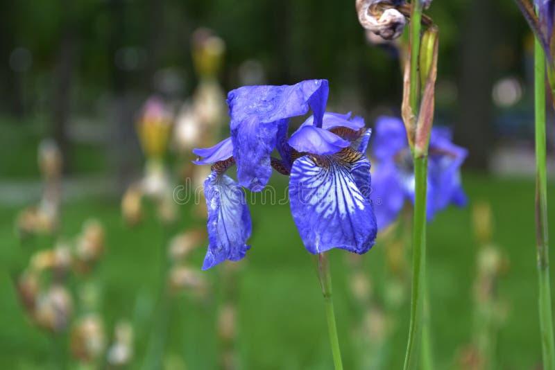 Blauw irisblauw met wit strepenclose-up  stock fotografie