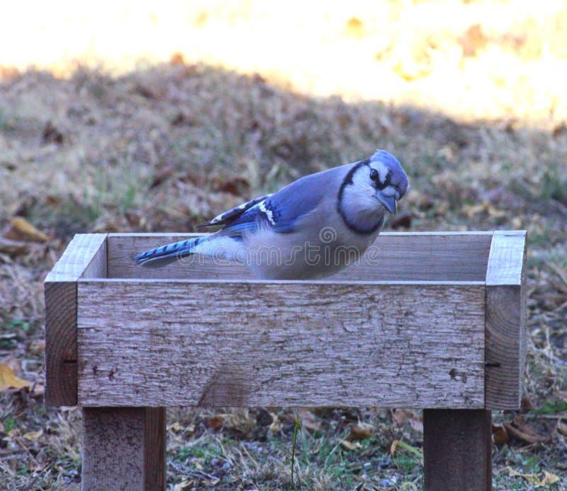 Blauw Jay Curiously Looking royalty-vrije stock afbeeldingen