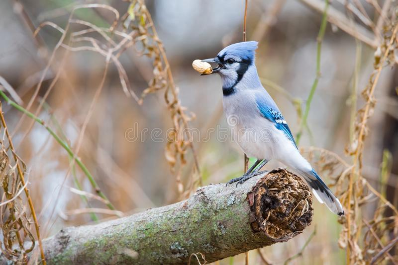 Blauw Jay Perching With Peanut stock afbeelding