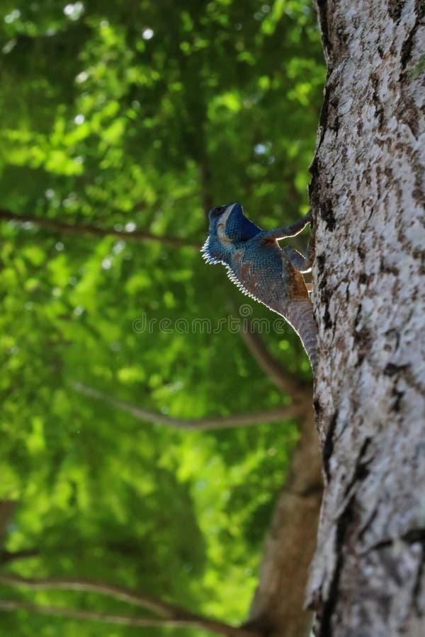 Blauw-kuif of Tussen Indië en China Forest Lizard op een rug van de boomaard stock afbeelding