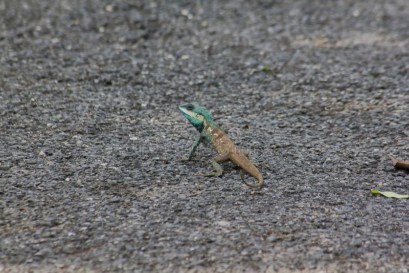 Blauw-kuifhagedis op de vloer stock afbeelding