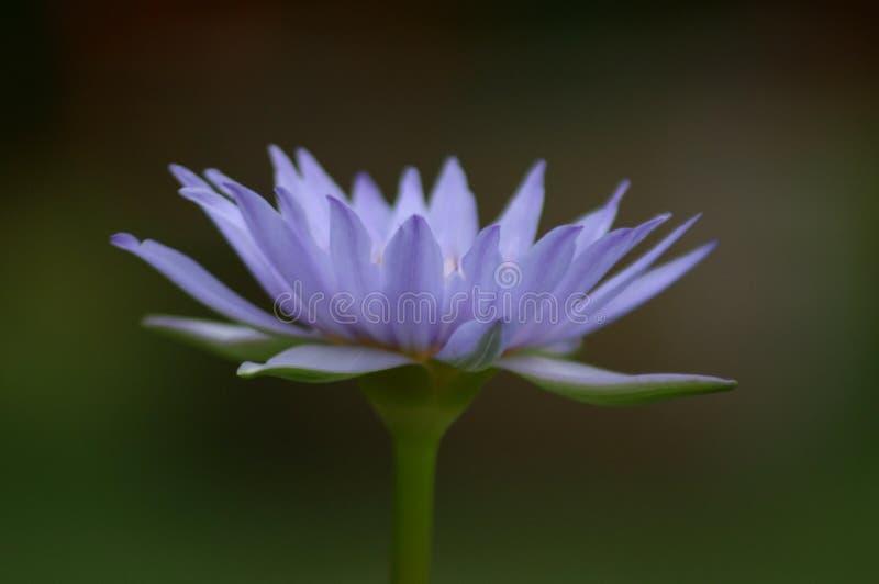 Blauw Lotus royalty-vrije stock afbeelding