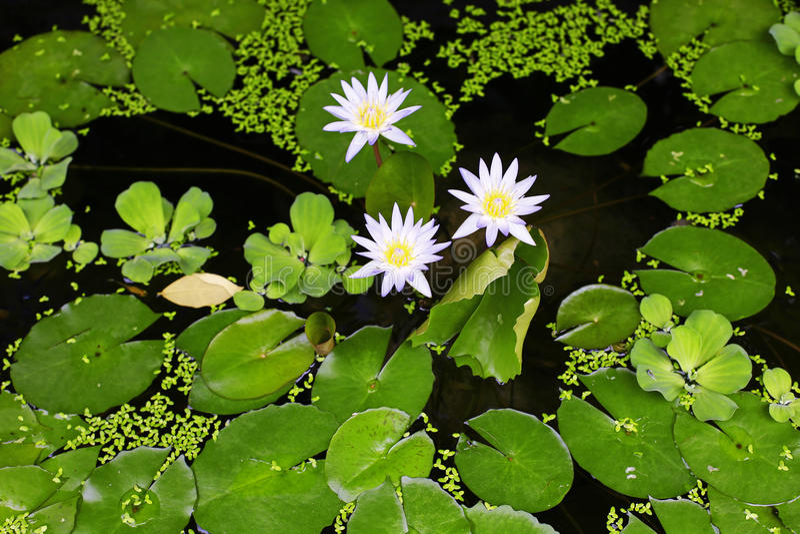 Blauw Lotus stock foto's
