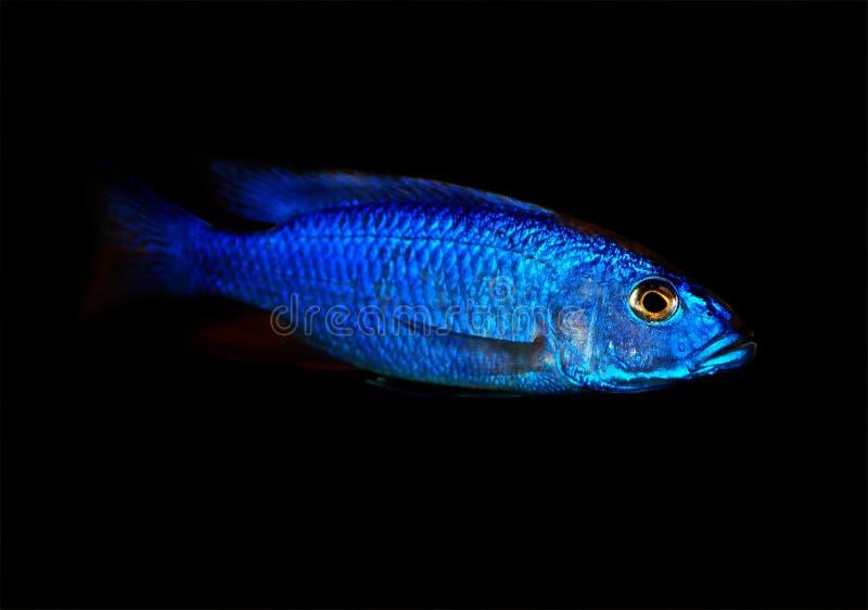 Blauw Malawi cichlid royalty-vrije stock afbeeldingen