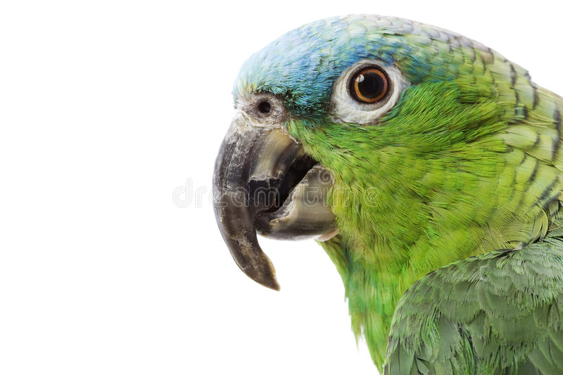 Blauw-Naped de Papegaai van Amazonië stock fotografie