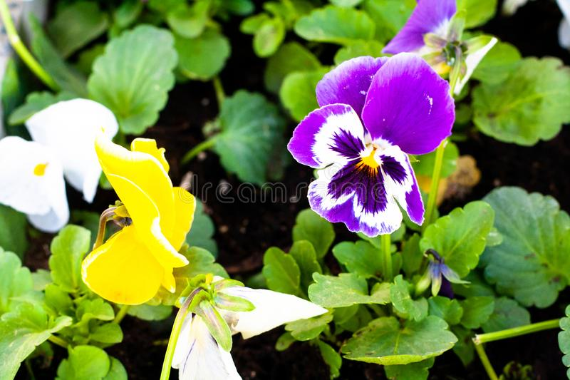 Blauw-ogen in het bloembed royalty-vrije stock foto