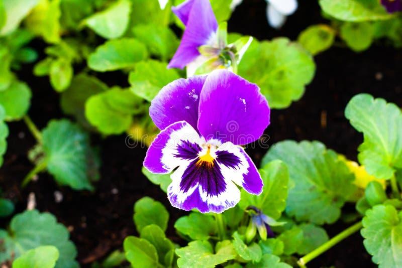 Blauw-ogen in het bloembed stock foto
