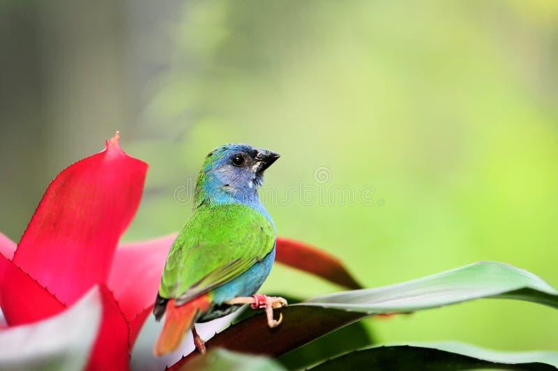 Blauw-onder ogen gezien Vogel Parrotfinch stock foto's