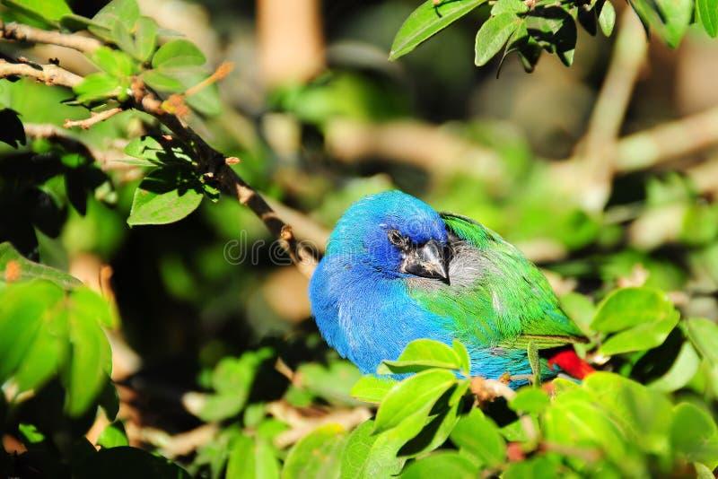Blauw-onder ogen gezien Vogel Parrotfinch royalty-vrije stock foto's