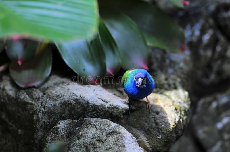 Blauw-onder ogen gezien Vogel Parrotfinch royalty-vrije stock afbeelding