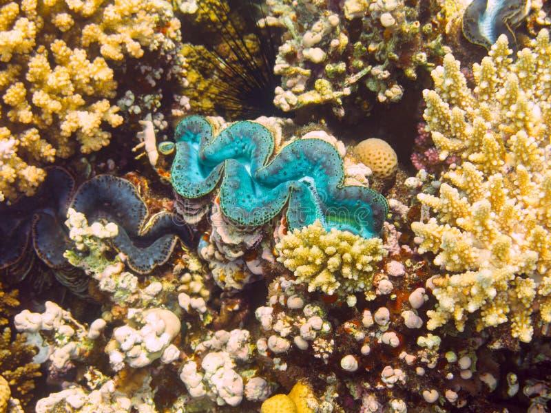 Blauw Reuzetweekleppig schelpdier, Rode Overzees, Egypte stock foto
