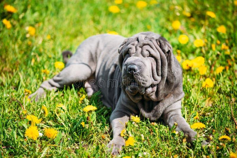 Blauw Shar Pei Dog In Green Grass in Park Openlucht stock foto's