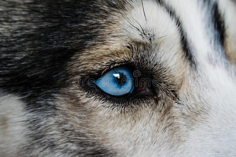 Blauw Siberisch Husky Eye stock foto's