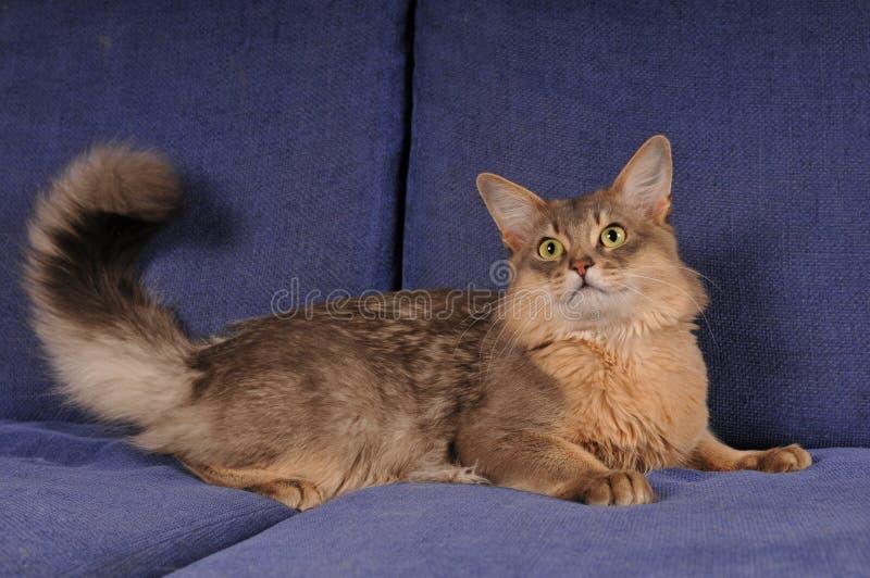 Blauw Somalisch kattenportret stock afbeelding