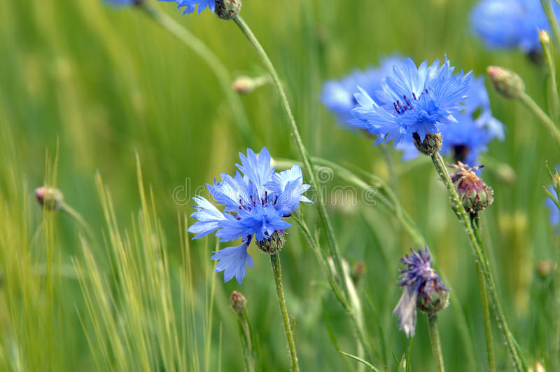 Blauw Tennessee Wildflower stock foto's