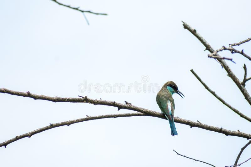 Blauw-Throated bij-Eter Merops-neergestreken en viridis die eruit zien stock fotografie