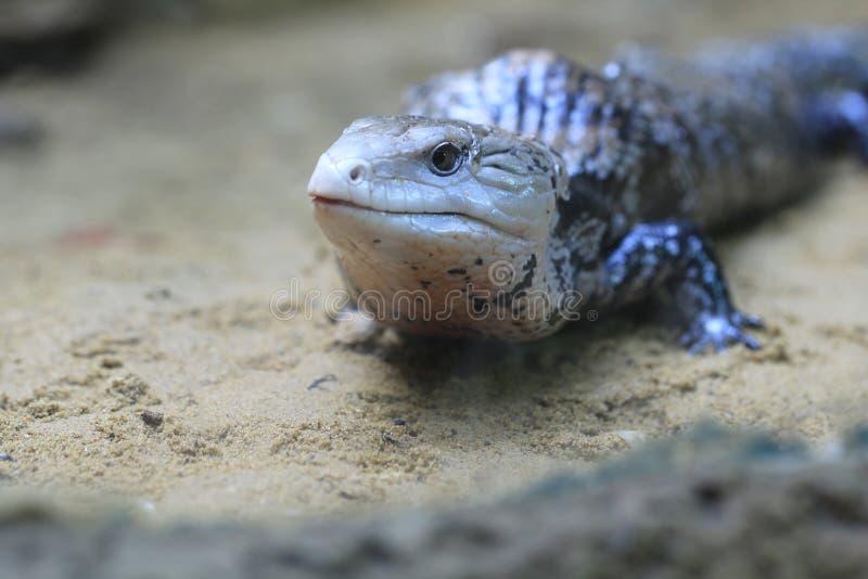 Blauw-tongued skink royalty-vrije stock afbeelding