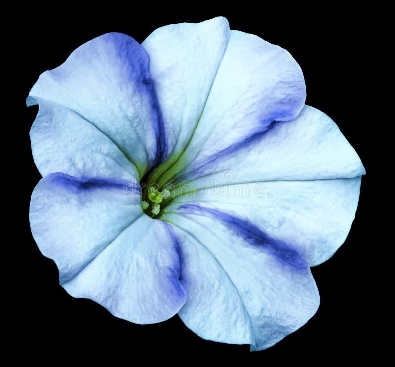 Blauw-turkooise Petuniabloem op zwarte geïsoleerde achtergrond met het knippen van weg geen schaduwen close-up stock fotografie