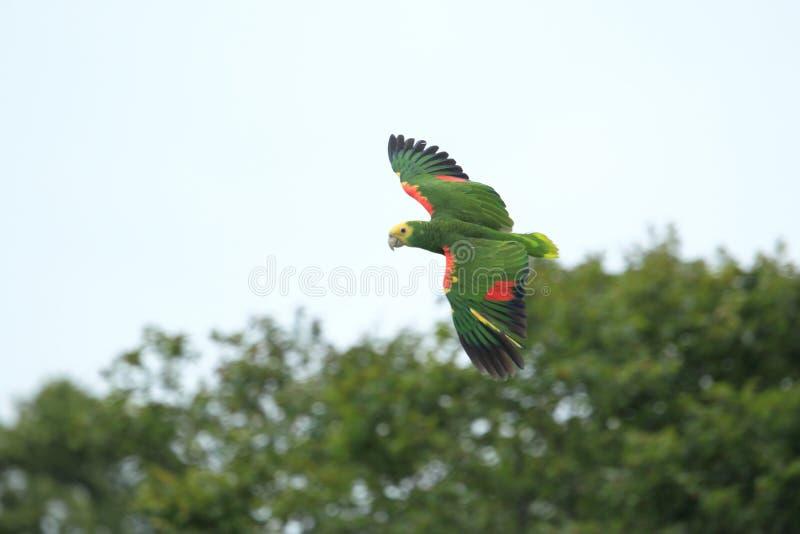 Blauw-uitgezien op Amazonië stock fotografie