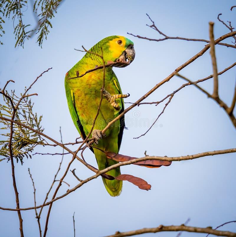 Blauw-uitgezien op papegaai, papegaai die op de tak van een boom rusten royalty-vrije stock fotografie