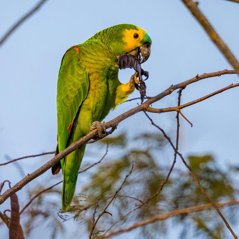 Blauw-uitgezien op papegaai, papegaai die op de tak van een boom rusten die zaden eten stock foto's