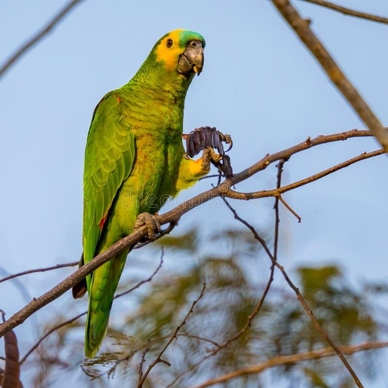 Blauw-uitgezien op papegaai, papegaai het eten royalty-vrije stock fotografie