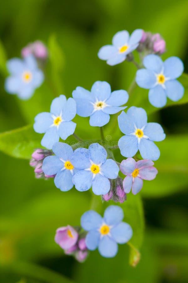 Blauw vergeet-mij-nietje royalty-vrije stock afbeelding