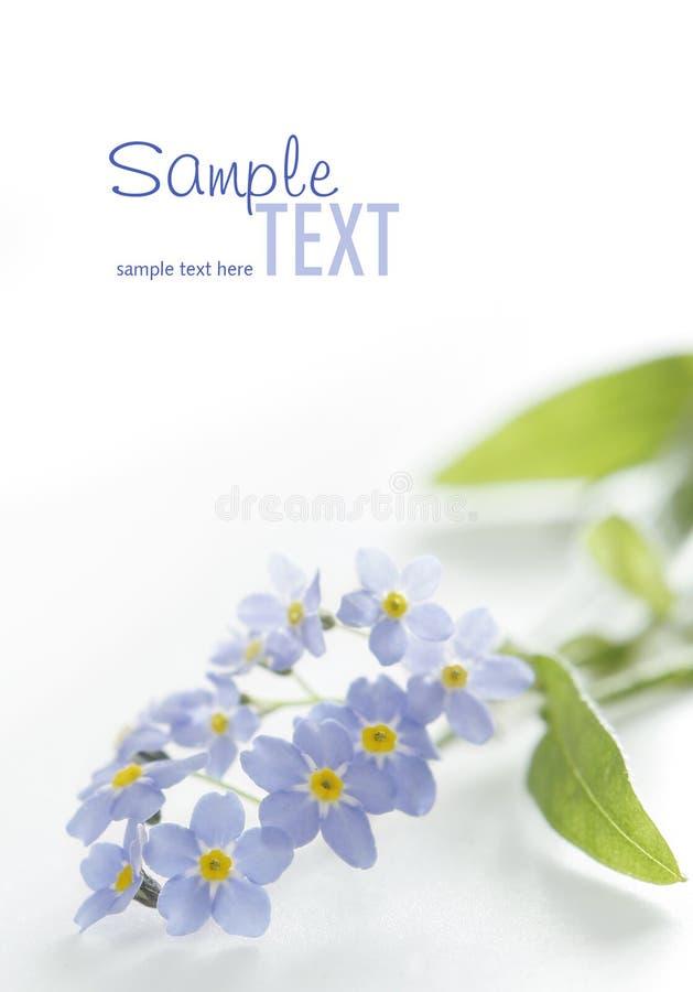 Blauw vergeet-mij-nietje op wit stock afbeeldingen