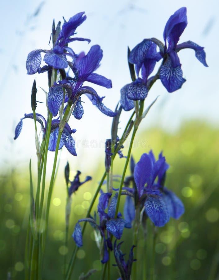 Blauw-violette wilde irissen op een groene weide De bloemen van de waterlente stock afbeelding
