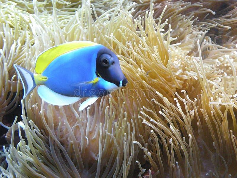 Blauw vissen en koraal royalty-vrije stock afbeeldingen