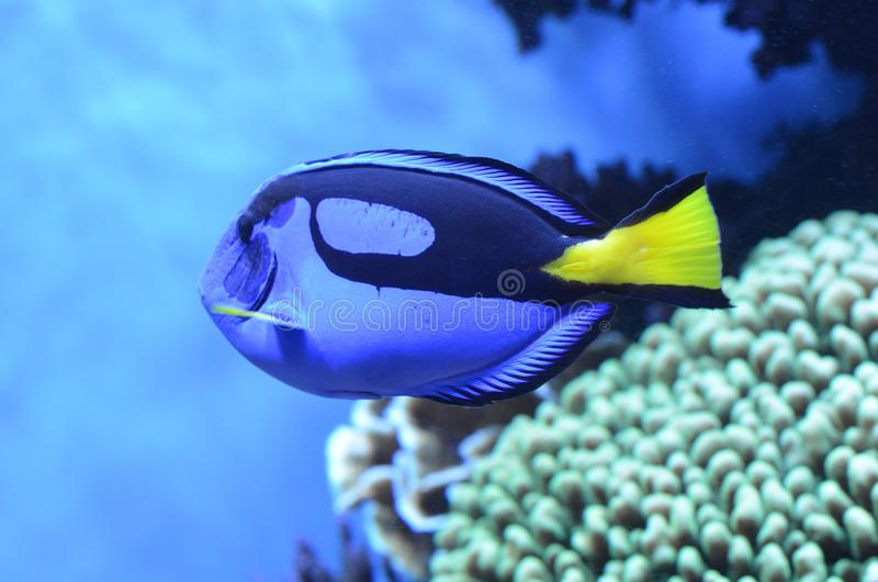 Blauw Vorstelijk Tang In Aquarium stock foto