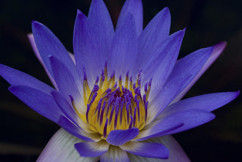 Blauw Water Lilly stock fotografie