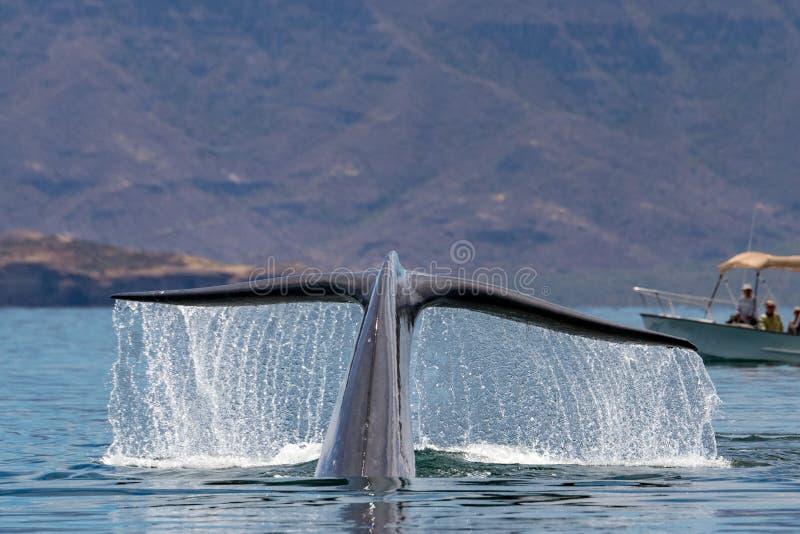 Blauwal das größte Tier in der Welt stockbilder