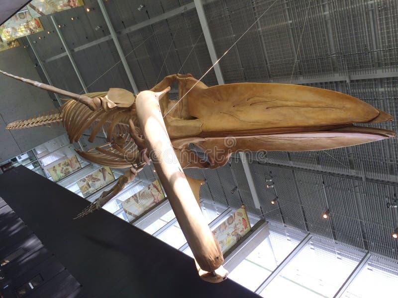 Blauwal-Skelett, UBC-Campus, Vancouver, Britisch-Columbia, Kanada stockfotografie