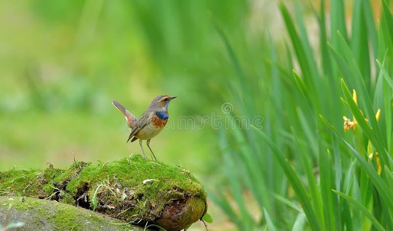 Blauwborst Luscinia stock fotografie