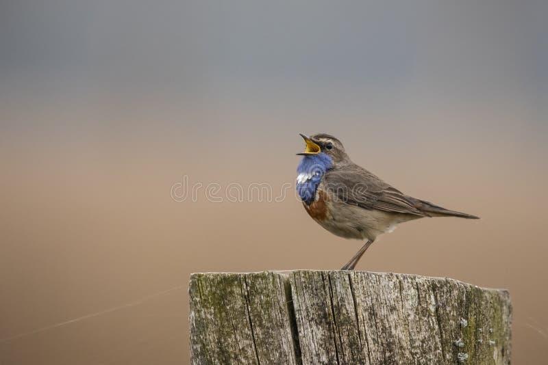 Blauwborst, Luscinia-svecica, een zangvogel stock afbeelding