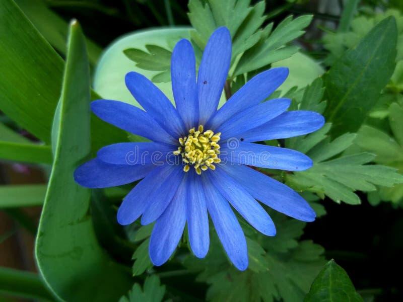 Blauwe Anemone Blanda in het Hout royalty-vrije stock afbeelding